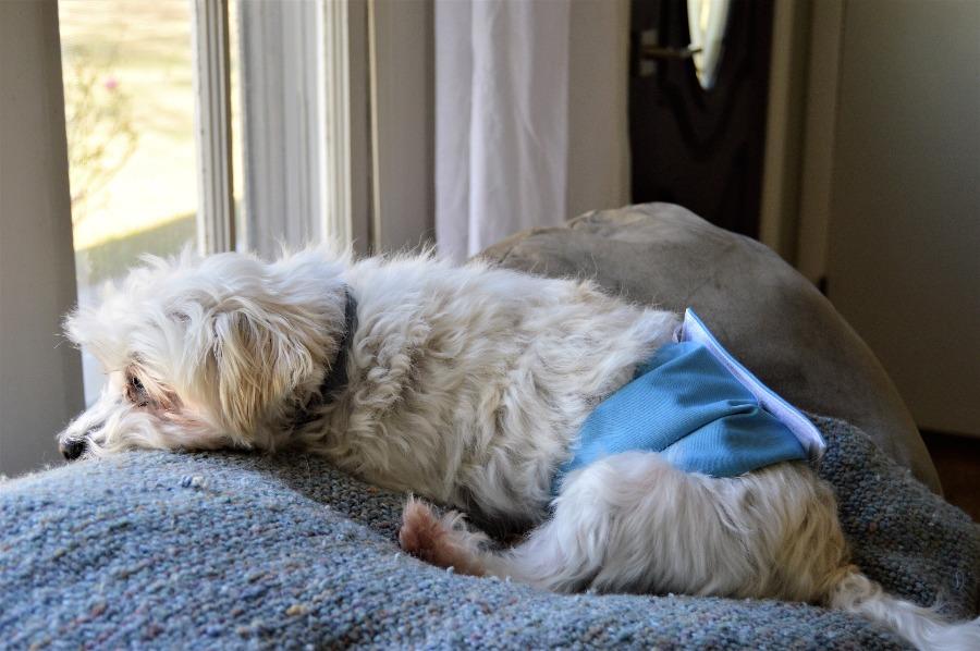 dog belly wrap